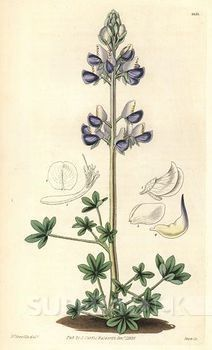 lovelovelove this botanical print of lupin for my floral piece