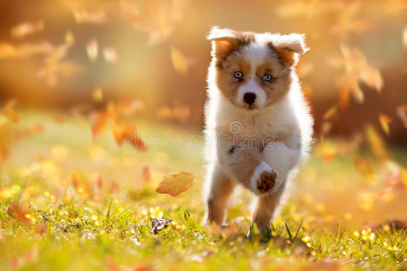 Dog Australian Shepherd Puppy Jumping In Autumn Leaves Over A