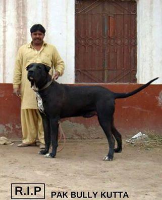 Bull Kutta Unique Dog Breeds Pitbull Puppies Giant Dogs