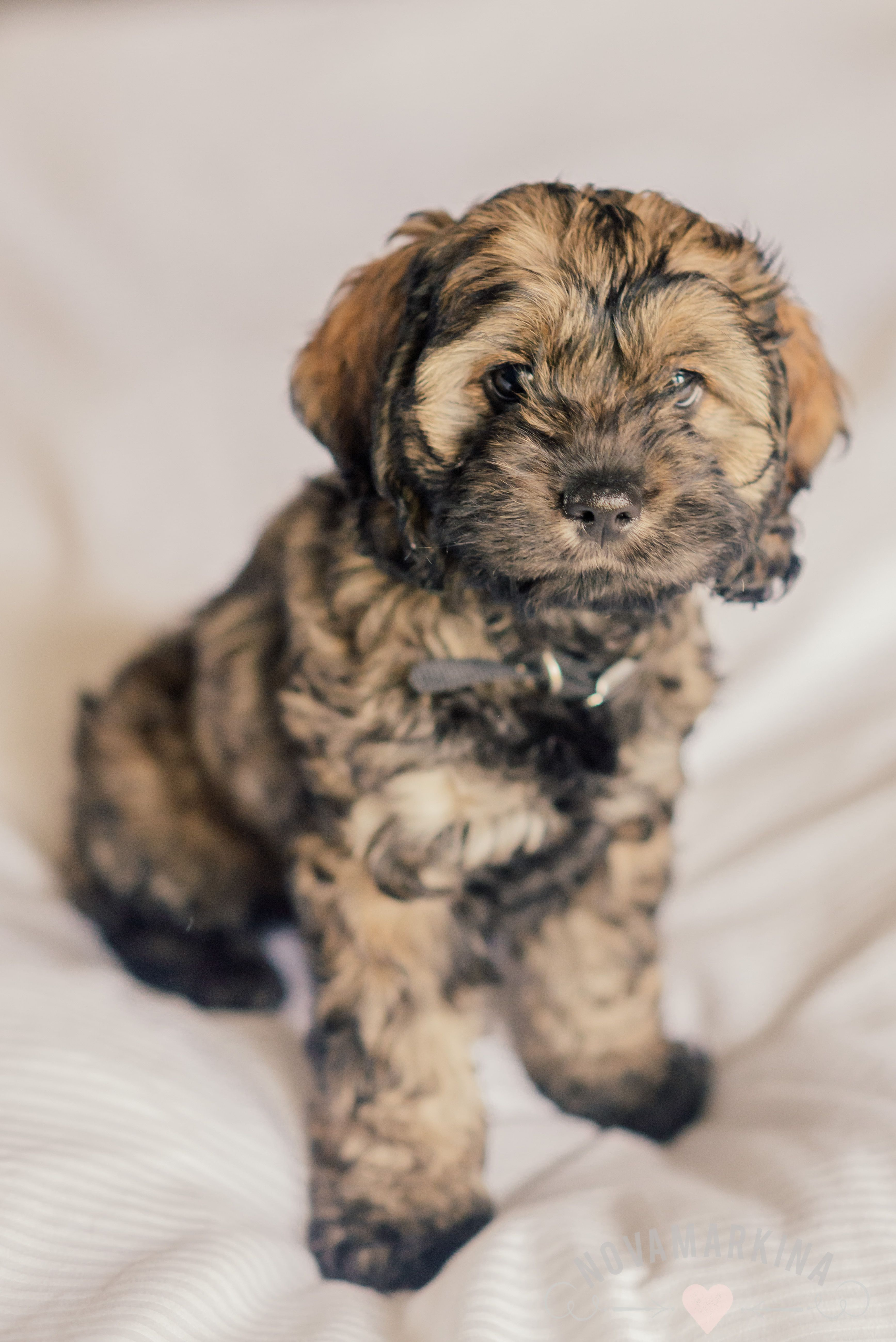 Our adorable #sable #cockapoo I just can't get enough of her face!