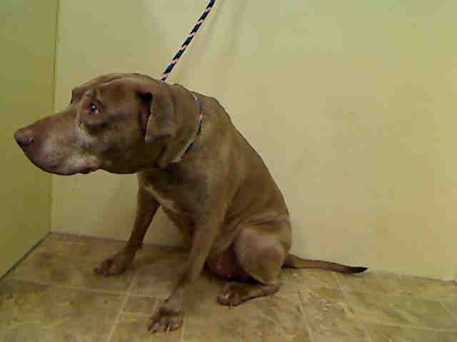 TO BE DESTROYED 07/03/15 SUPER URGENT MANHATTAN JULIE – A1041019 FEMALE, BROWN / WHITE, PIT BULL MIX, 8 yrs SEIZED – ONHOLDHERE, HOLD FOR ARRESTED Reason OWN ARREST Intake condition GERIATRIC Intake Date 06/21/2015, From NY 10306, DueOut Date 06/28/2015, http://nycdogs.urgentpodr.org/julie-a1041019/