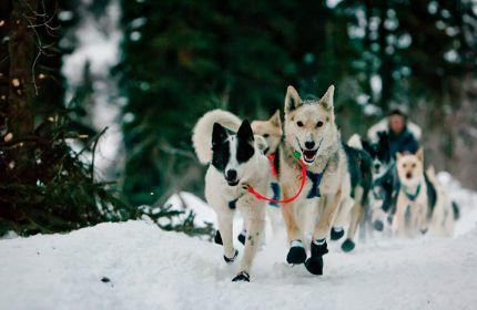 Once Again Mushers Neff And Moore Battling To Become Top Dog Of