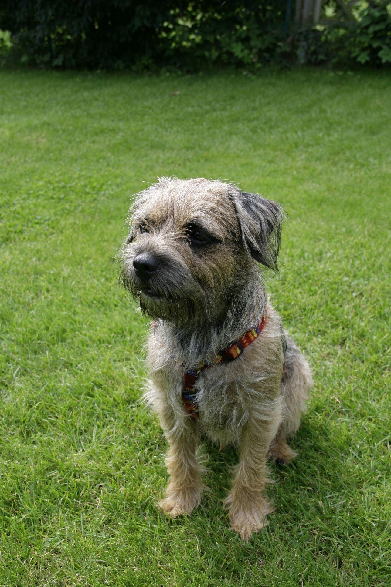 Was Hat Da Geknistert Border Terrier Brown Dog Terrier