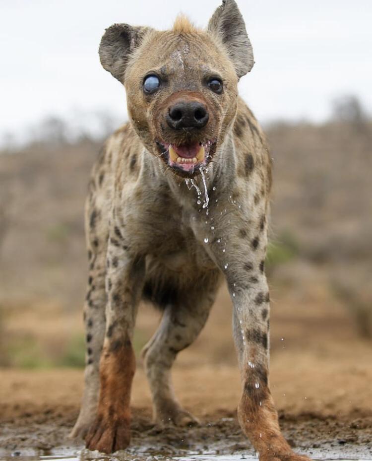 One eyed Spotted Hyena Roger Sanmartí animals nature
