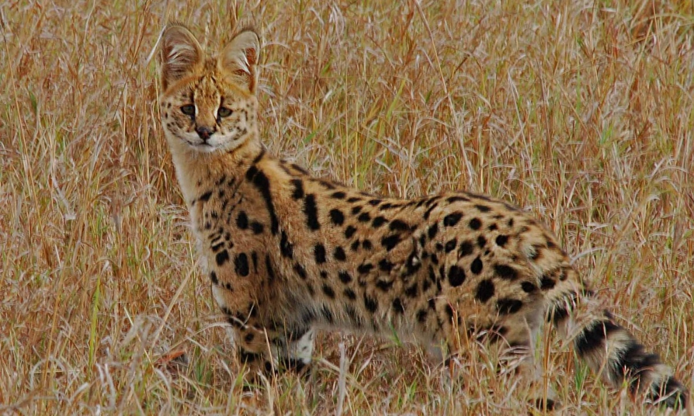 Five Most Expensive Cat Breeds In 2020 In 2020 Savannah Chat Savannah Cat Cat Breeds