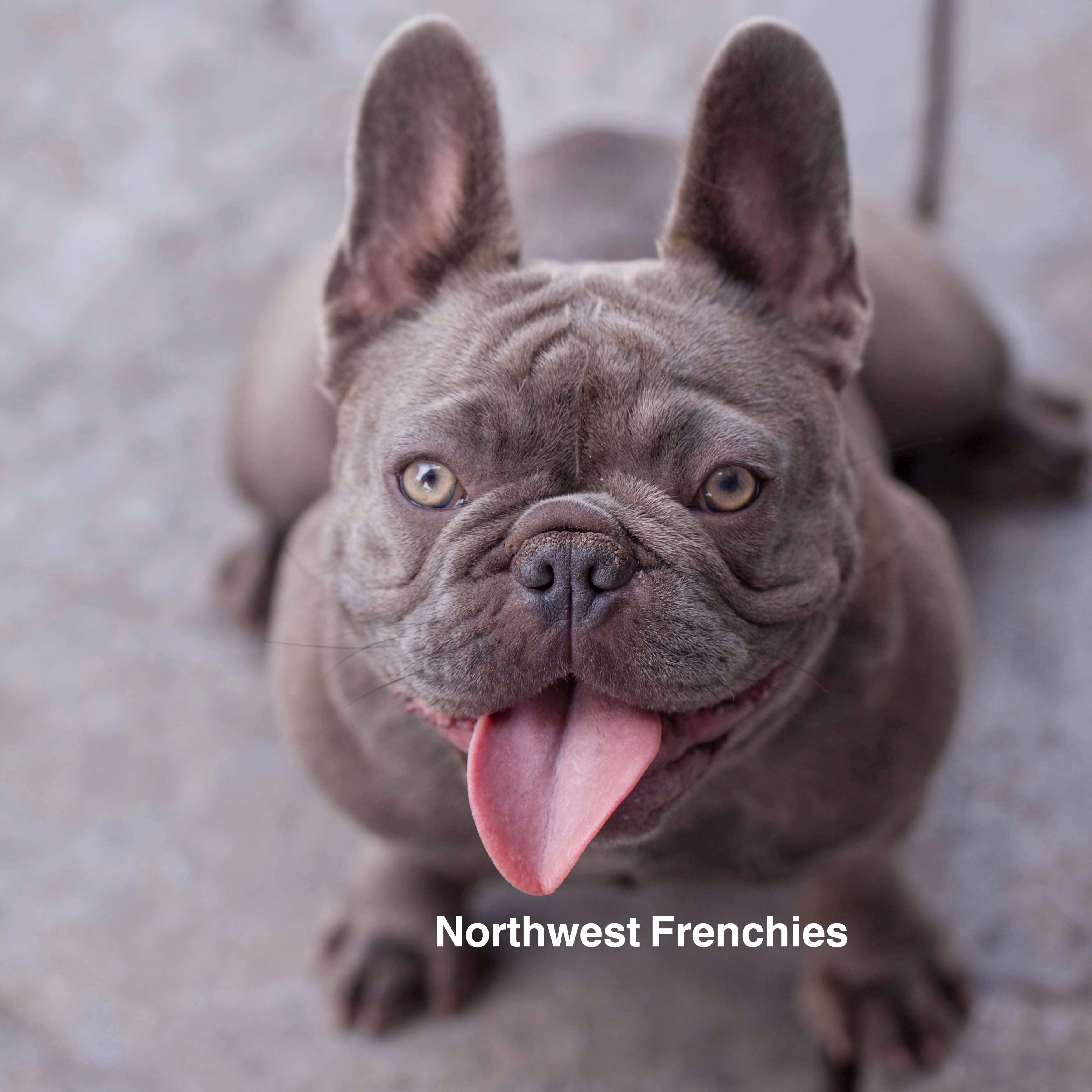 A Northwest Frenchies Baby Comes Home Fully Vet Checked Health