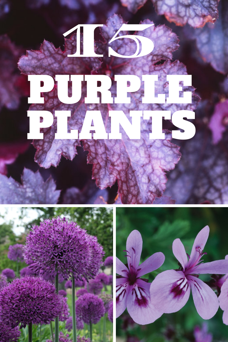 15 Eye Popping Purple Plants Httphgtvgardensphotos