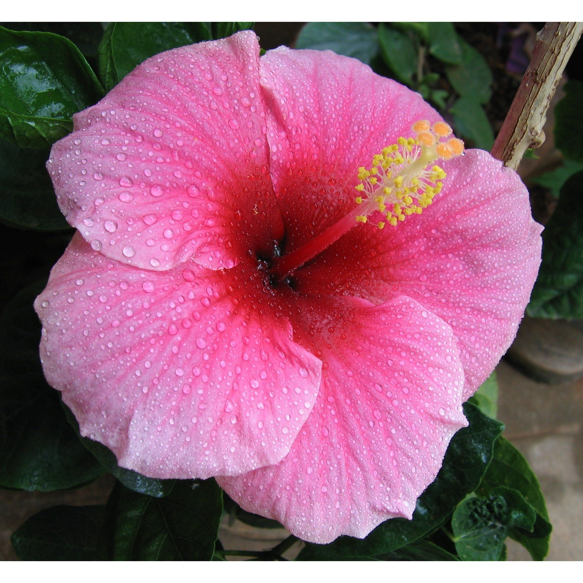 Its no wonder that this beautiful bold colored hibiscus is the its no wonder that this beautiful bold colored hibiscus is the official state flower of hawaii while it does not carry a fragrance it makes up for that izmirmasajfo
