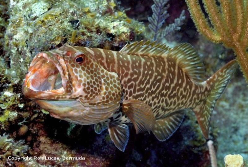 Caribbean Sea Creatures: Mycteroperca Tigris - Tiger Grouper, Caribbean