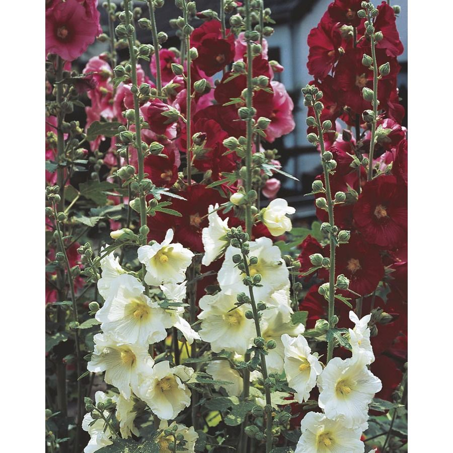 Photo of 1.5-Gallon in Pot Hollyhock (L15013) Lowes.com