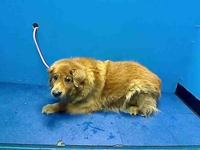 SUPER URGENT 6/29/13 Brooklyn Center JACK - ID#A0970109 Neutered male, brown Chow Chow and Labrador Retriever 10 years old. https://www.facebook.com/photo.php?fbid=632743520071864=a.617942388218644.1073741870.152876678058553=3