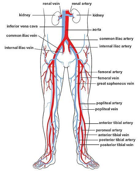 Circulation in the legs home anatomy pinterest for Home circulation system