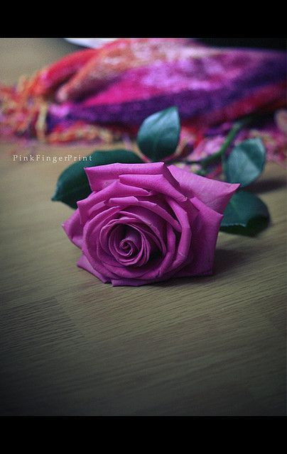 And I Found A Very Special Love In You Purple Roses Rose Pink
