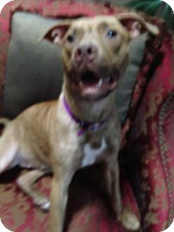 Tampa, FL - American Pit Bull Terrier/Pit Bull Terrier Mix. Meet Bella, a dog for adoption. http://www.adoptapet.com/pet/14890366-tampa-florida-american-pit-bull-terrier-mix