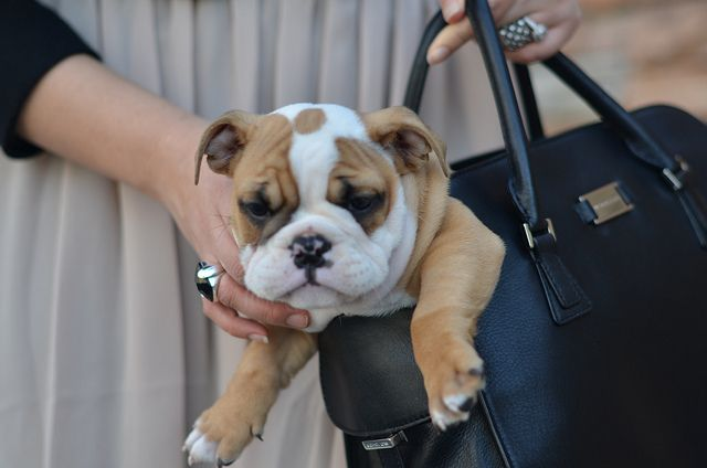 Pin By Terry Bell On Adorabull Bulldog Puppies Cute Dogs Baby