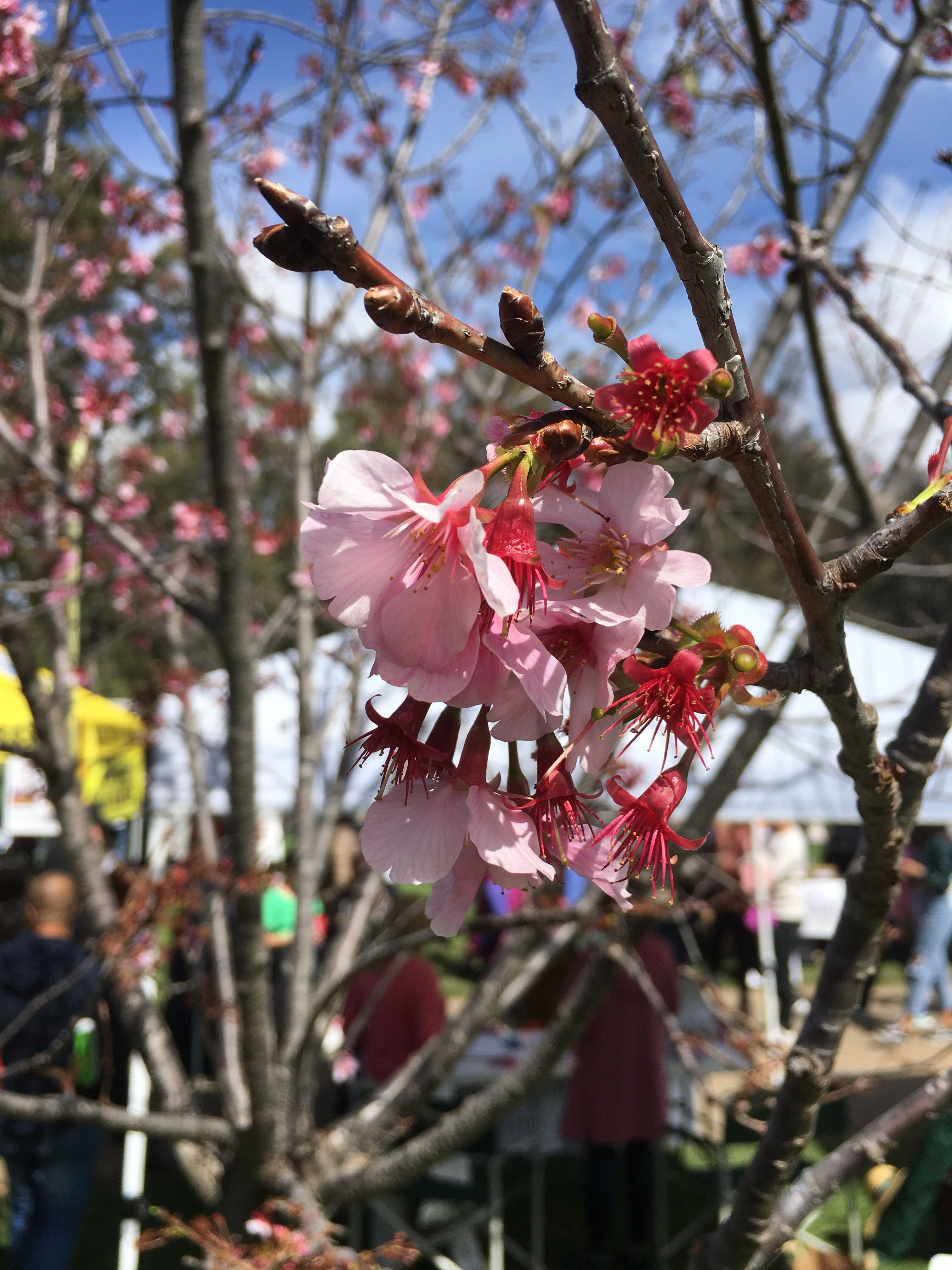 Cherry Blossoms In Southern California The Royal Tour Cherry Blossom Wanderlust Inspiration Blossom
