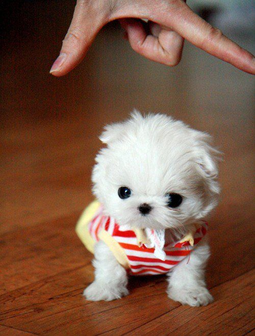 You Shall Take Me Seriously Tiny White Puppy In A Dress Cute