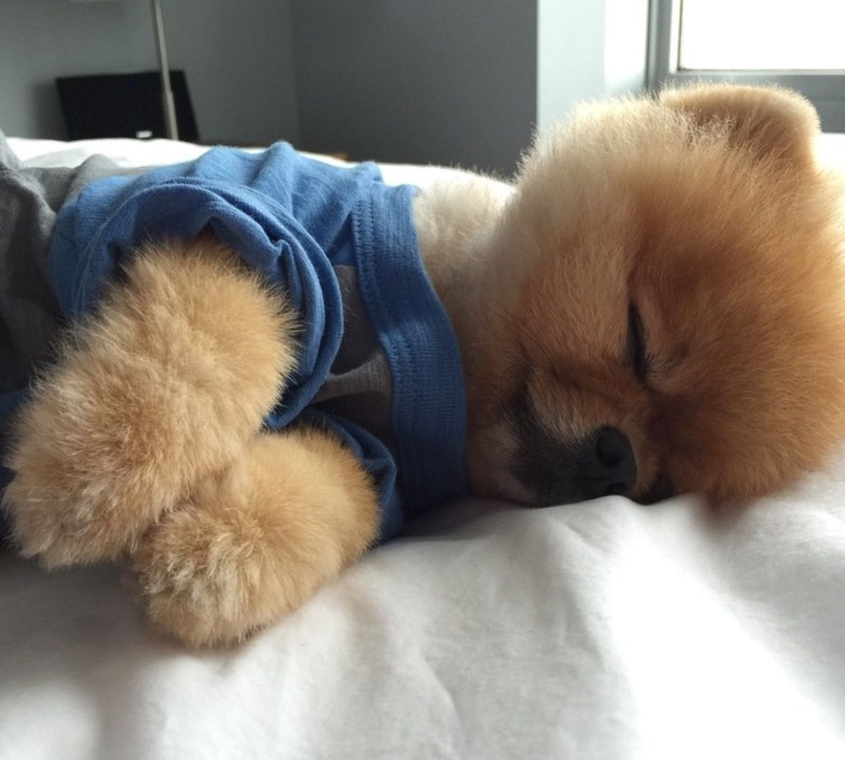 Pomeranian Bold And Inquisitive Instagram Pomeranians And Dog - Jiff the pomeranian is easily the best dressed model on instagram