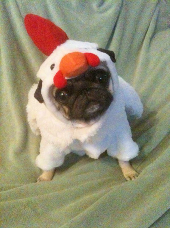 pug dog chicken halloween costume funny - Pugs Halloween