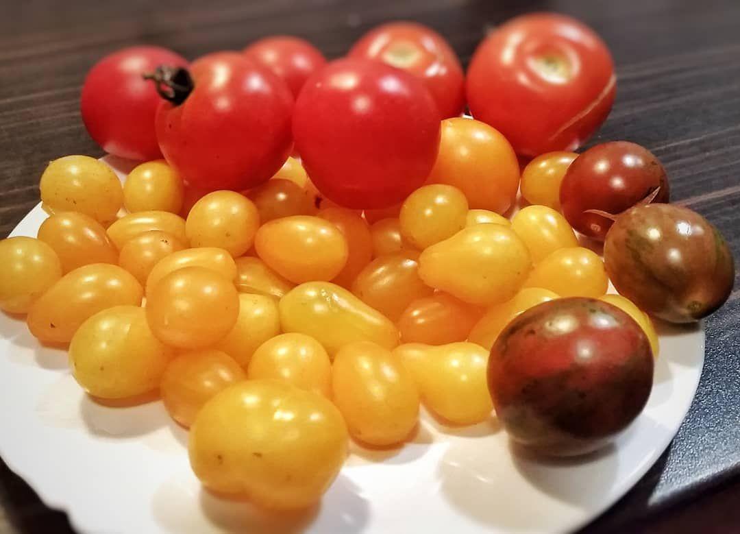 Die Tomatenernte Ist Noch Nicht Zu Ende Im Hochbeet Fuhlen Sich Zwei Pflanzen Noch Ganz Wohl Es War Ein Super Ertag Dieses Jahr Ernte Hochbeet Bio Gemuse