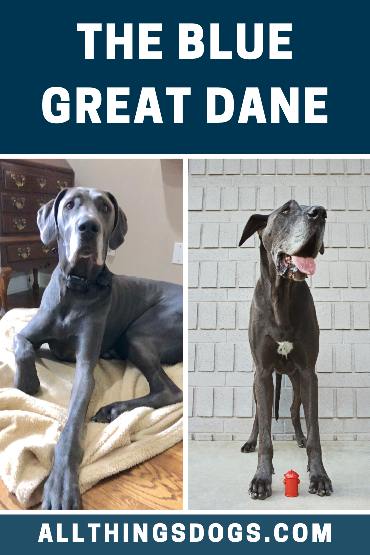 Blue Great Dane In 2020 Blue Great Danes Great Dane Great Dane Colors