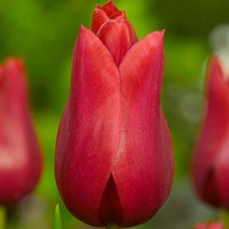 Tulipa Red Shine Lily Flowered Tulip Jardins Sans Secret Tulips Tulip Bulbs Bulb Flowers