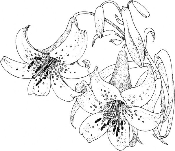 Lily Blossom Coloring Page Super Coloring Lilies Drawing