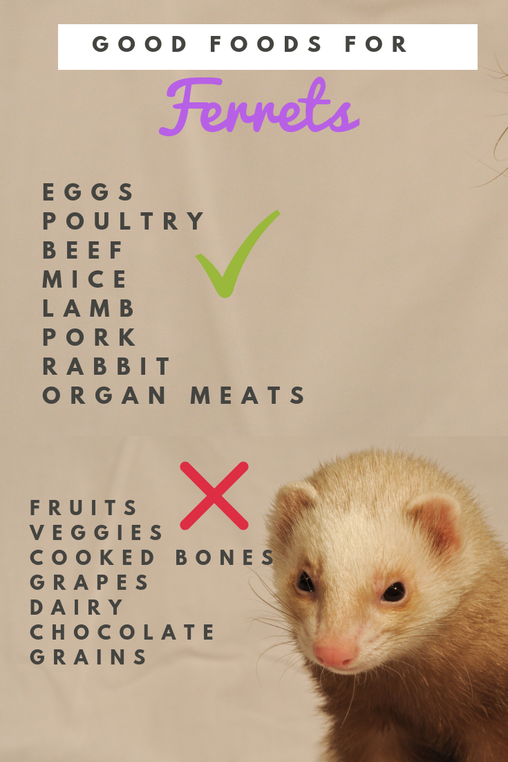 Looking For Some Great Foods To Feed Your Ferret Here S A Quick List Of Some Dos And Don Ts For Treats But If You Need Help Wi Ferret Ferret Diy Baby Ferrets