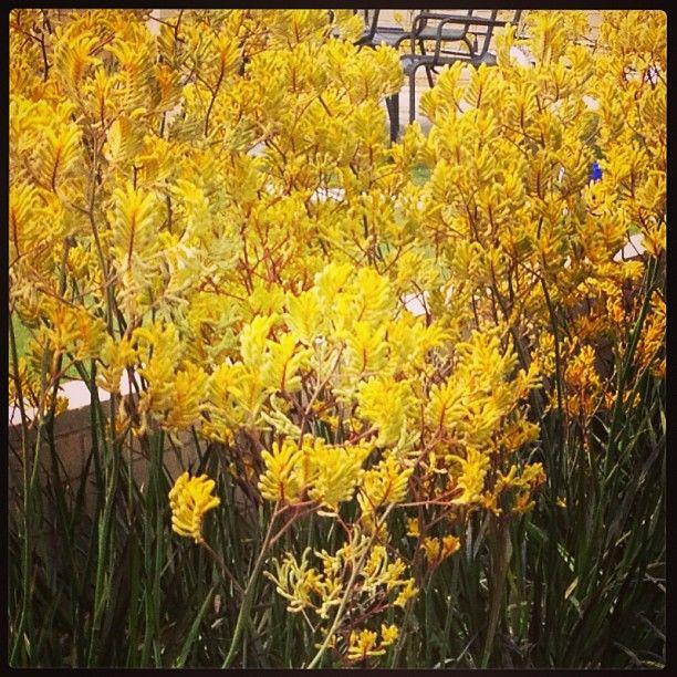 Norfolk Florist Virginia Beach Florist Flower Delivery Kangaroo Paw Native Garden Front Yard Landscaping