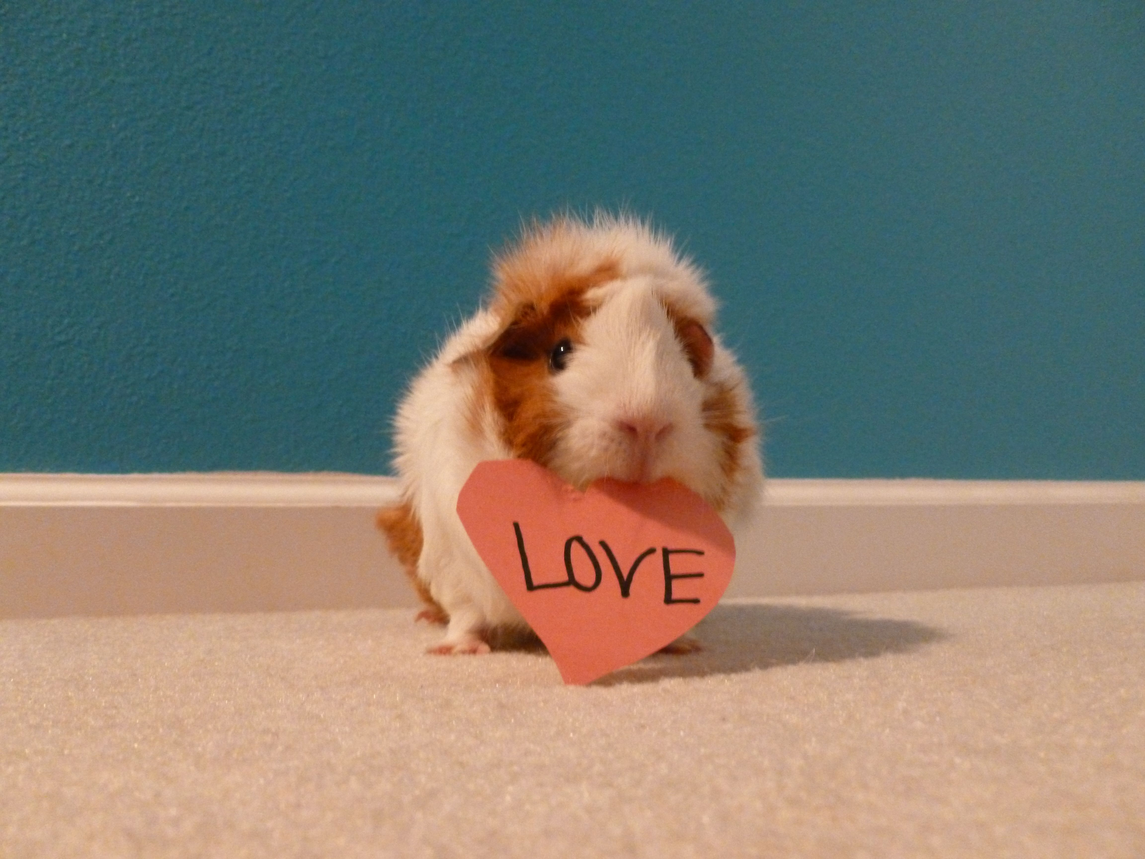 Pin On Gorgeous Guinea Pigs