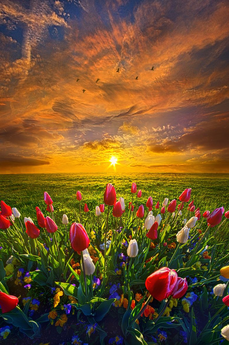 Drawing Near To Me tulips at sunrise by Phil Koch