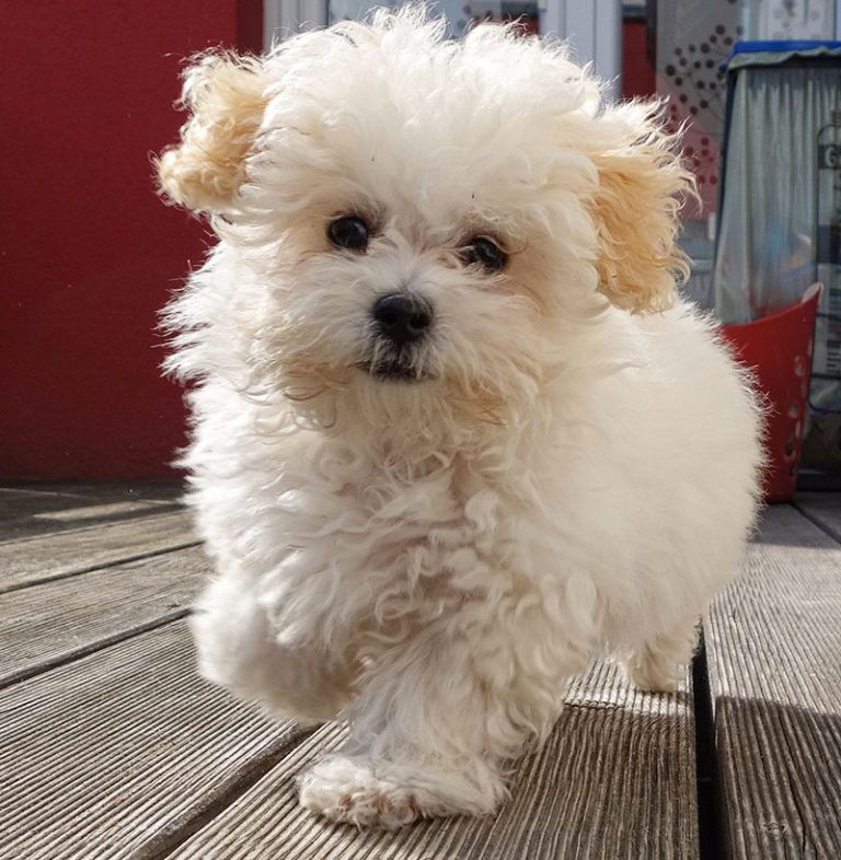 Designer Dogs 101 9 Cute Small Poodle Hybrid Mix Breeds With