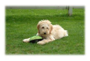 Goldendoodle Kennel Goldendoodle Goldendoodles For Sale Goldendoodle Puppy