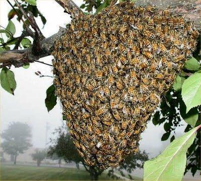 أنواع طرود النحل و أشكالها وطريقة خروجها و الأسباب الدافعة لها Grapes Fruit Food