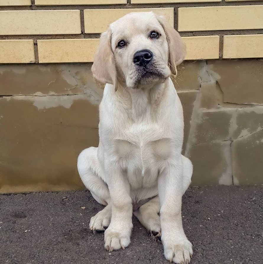 40 Labrador Dog Names And Meanings Dog Names Best Dog Names