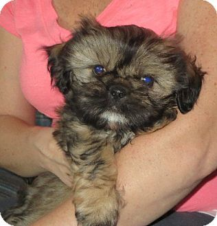 Allentown Pa Shih Tzu Meet Ralph A Puppy For Adoption Http