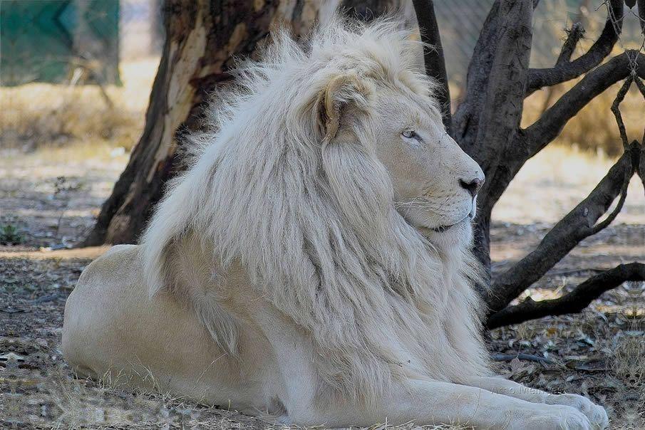 White Lion - Yeah baby I'm da shiznick
