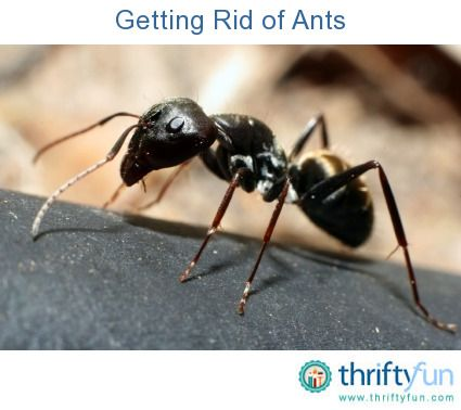 Getting Rid Of Ants Types Of Ants Ants In House Rid Of Ants