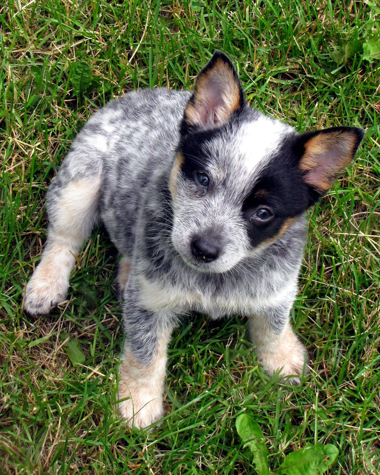 Blue Heeler Pup Blue Heeler Puppies Heeler Puppies Cattle Dog