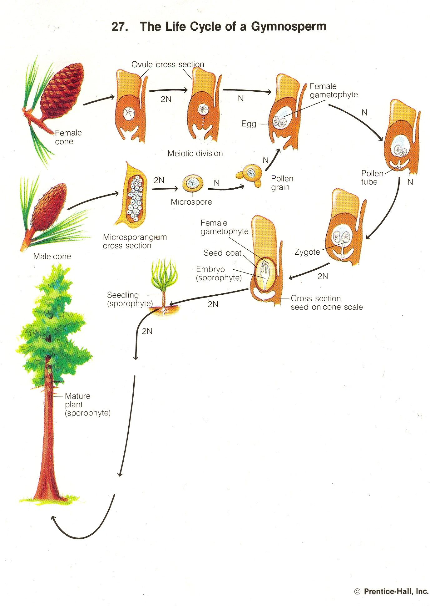 Gymnosperm Life Cycle | Horticulture | Teaching biology ...