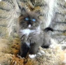 Ragdoll Kittens Tica Reg Rare Ragdoll Cat Colors Ragdoll Cat