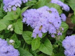 Growing Ageratum Flower How To Plant Ageratum Blue Flowers Garden Plants Container Gardening