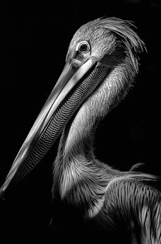 Photo of Pelican by Thierry Gromik, art work