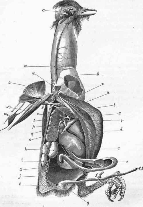Bird Muscle Anatomy Plate Ii Common Pigeon Columba Livia Bird