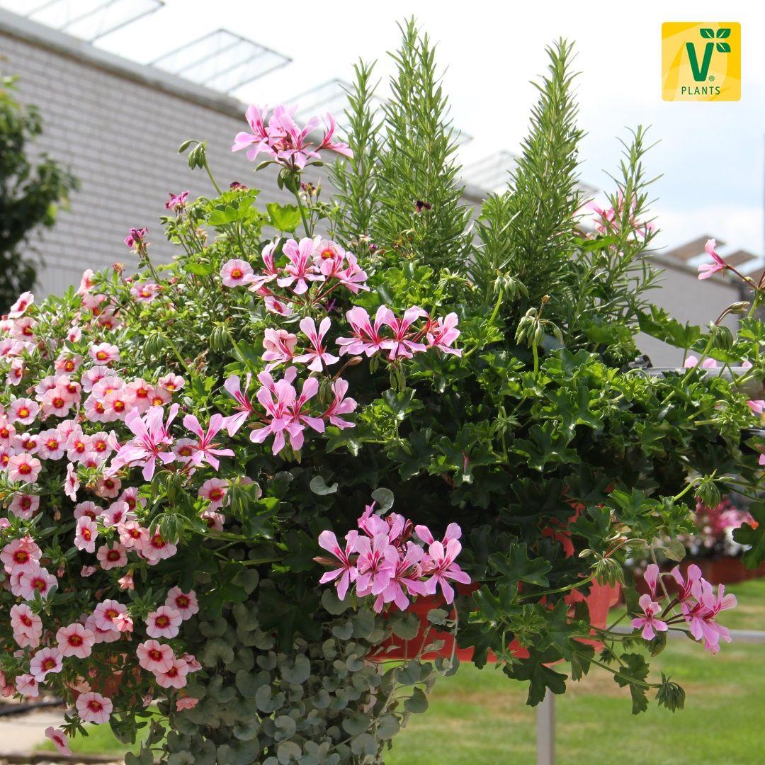 1 Pflanze mehrj/ährig w/ürzig Volmary Gourmet-Rosmarin Abraxas winterhart