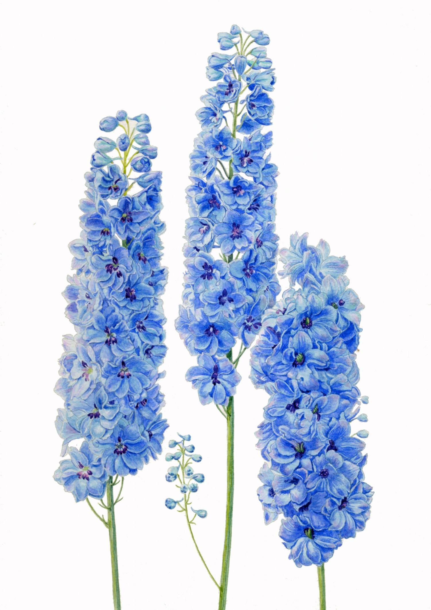 illustration of three blue delphiniums---Colten's birth month flower
