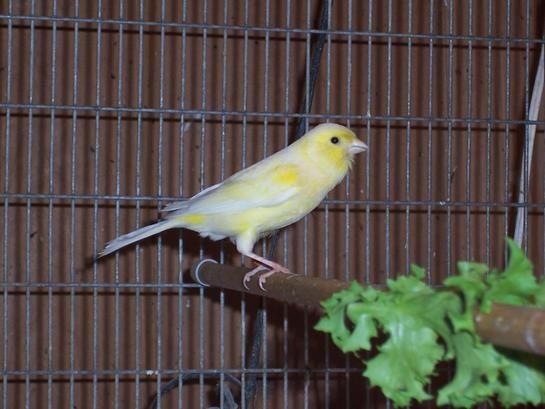 Joe S Canaries Home American Singer Canary American Singer Canaries Stafford Canary Waterslager Canaries American Singers Canary Birds Singer