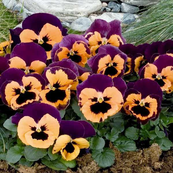 Inspire Purple With Orange Pansy Flower Seeds Annual Flowers Viola Flower