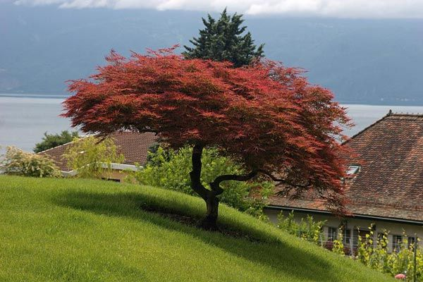 Acer palmatum 'Atropurpureum' from Gardens and Plants. Bought one yesterday. Mine was from Monrovia.