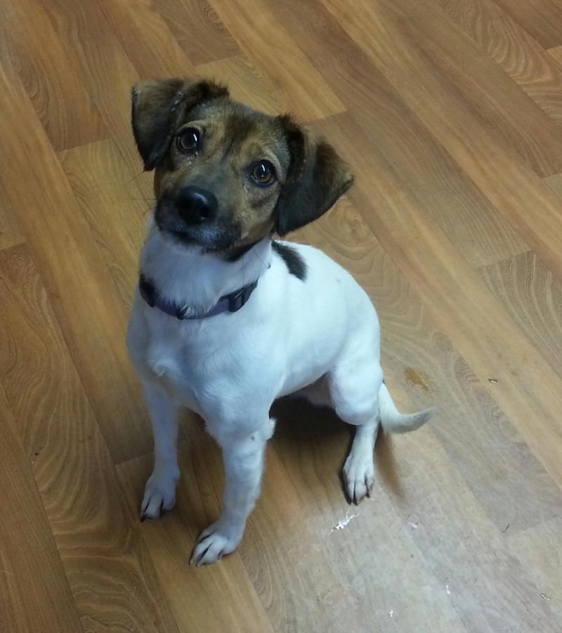 Adopt Azalea On Adoption Dog Pounds Jack Russell Terrier Mix